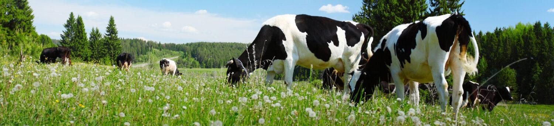 Holstein Slovenia